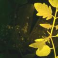 米InnerPlantが自らSOSを出す植物 InnerTomatoを開発、病気の早期発見に